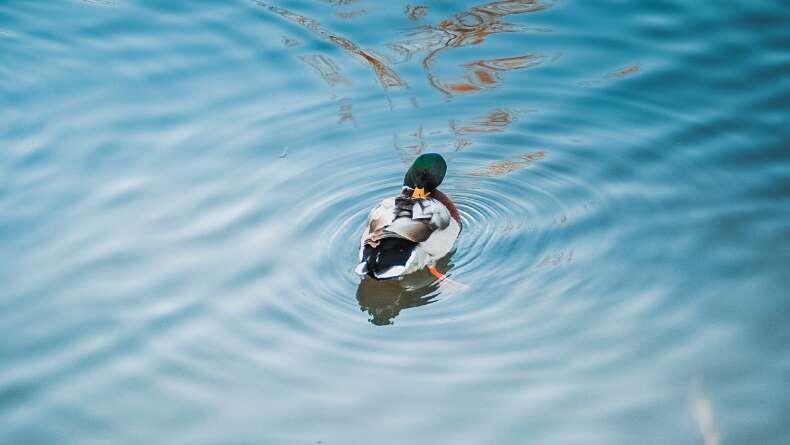 Ördek Sendromuna Yakalanmış Olabilir Misiniz?
